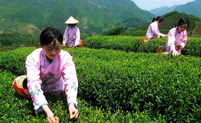 tea in china essay Learn about the tradition of drinking tea and see how tea traditions vary in countries such as china, japan, india, russia, france, england and egypt.