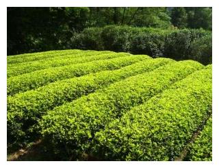 Лучшие сорта краснодарского чая: посадка и уход